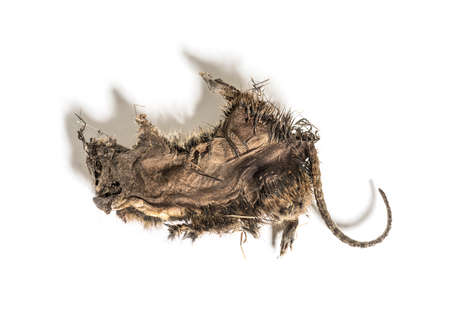 Dry rat In state of decomposition, isolated on white Stockfoto