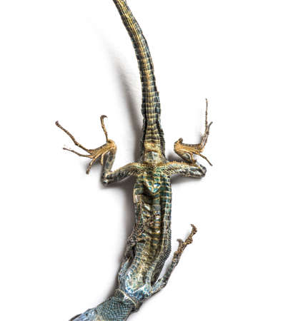 Dead Common wall lizard in state of decomposition Stockfoto