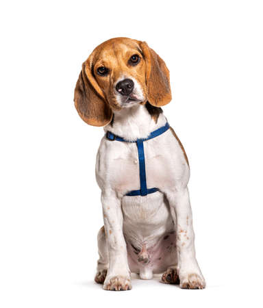 Beagle wearing an harness isolated on white Stockfoto