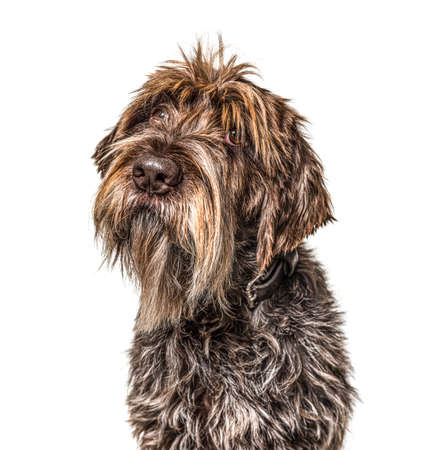 Head shot of a shaggy dog, Korthals Griffon, isolated on white