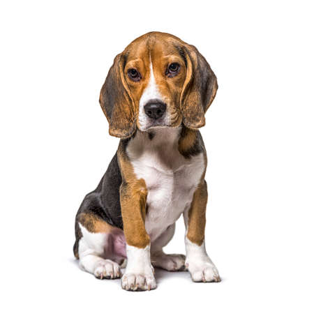 Young puppy three months old Beagles dog sitting, isolated