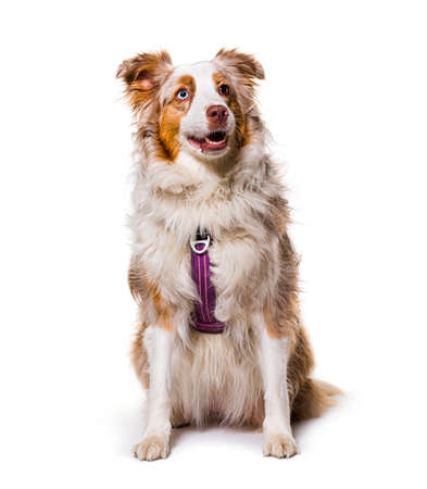 odd-eyed Expressive australian shepherd dog red merle wearing a red harness, isolated Stockfoto