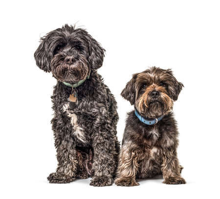 Two crossbreed dogs sitting together, wearing blue collars