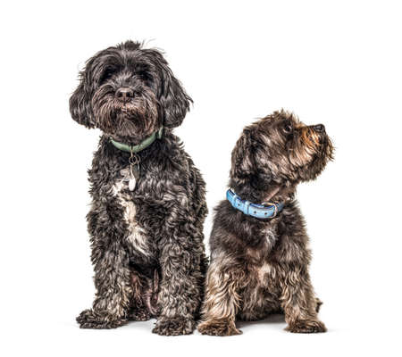 Two crossbreed dogs wearing a blue collar sitting, isolated