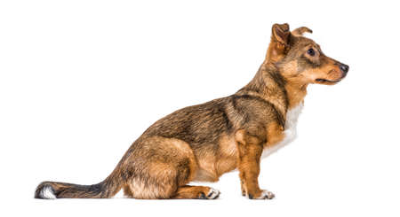 Side view on a isolated Crossbreed dog sitting in front and waiting