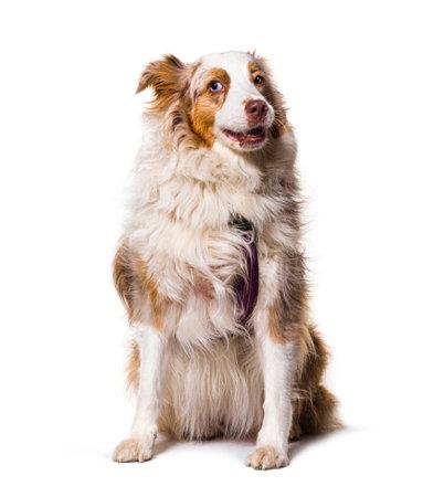 odd-eyed Expressive australian shepherd dog red merle, isolated Stockfoto