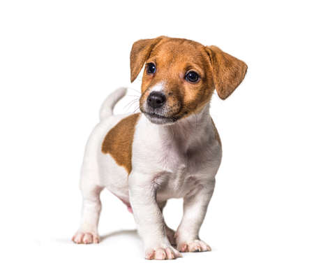 Puppy Jack russel terrier dog, two months old, looking away, isolated on white