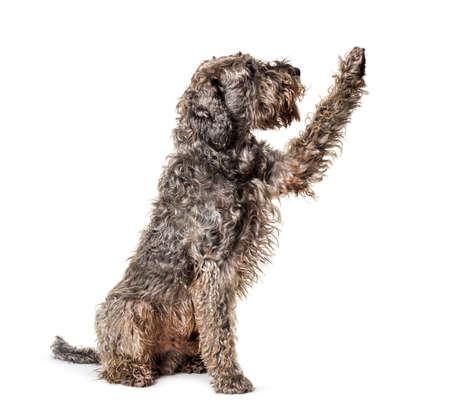 Shaggy Mixed breed dog pawing up Stockfoto