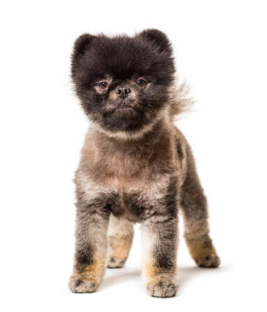 Brown and Black groomed spitz dog standing on a white background Stockfoto