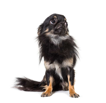 Black Worried sitting Chihuahua looking up, isolated