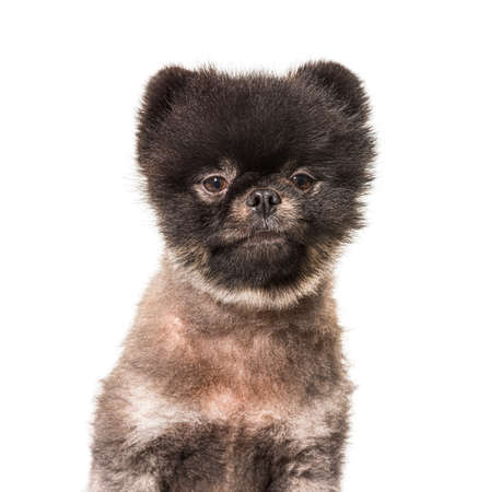 Head shot of Brown and Black Spitz  groomed