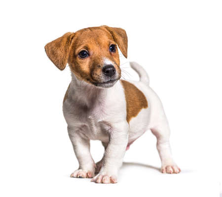 Puppy Jack russel terrier dog, two months old, isolated on white Stockfoto