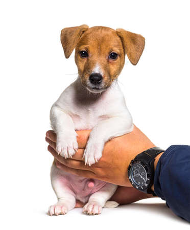 Human Hands holding a Puppy Jack russel terrier dog two months old Stockfoto
