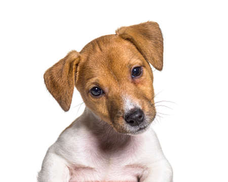 Head shot of a Puppy Jack russel terrier dog, two months old, isolated on white Stockfoto