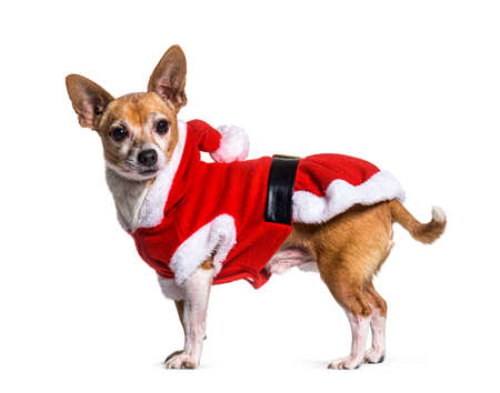 Crossbreed dog wearing a santa claus costume, Isolated on white