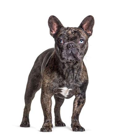 Brindle French bulldog blue eyed, standing, isolated on white Stockfoto
