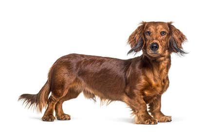 Side view of a brown dachshund dog looking at the camera, isolated