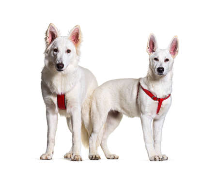 Two swiss Shepherd dogs together in front, isolated