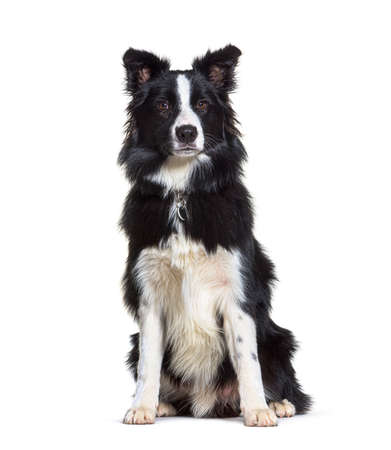 Sitting Border collie looking at the camera, isolated