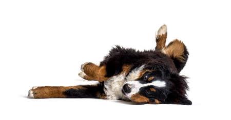 Crazy bernese monutain dog lying on its back, isolated Stockfoto
