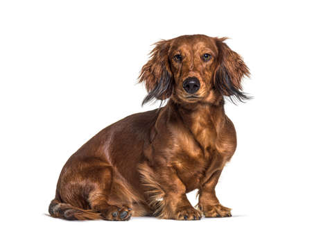 Sitting dachshund looking at the camera isolated on white Stockfoto