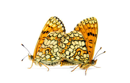 two Provençal fritillary butterflies mating, isolated on white 版權商用圖片