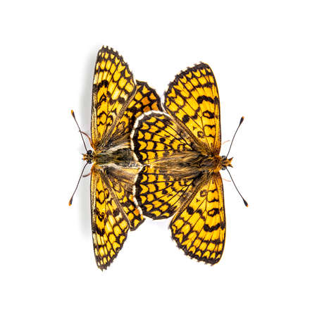 two Provençal fritillary butterflies mating, isolated on white