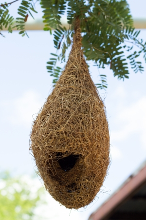 weaver bird nest: Nest at home Stock Photo
