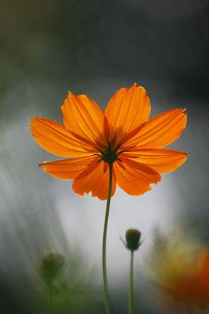 strong orange flower stand against sun shine photo