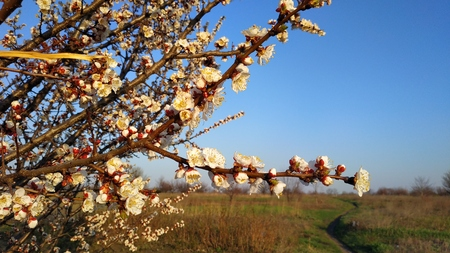 Spring white flower on a branch. Cityscape. Apricot blooming. Imagens