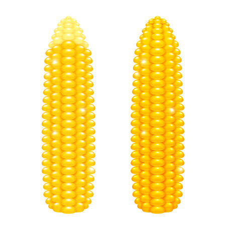 maize: fresh ripe corn cobs. Shiny yellow maize ears isolated on white background. Illustration