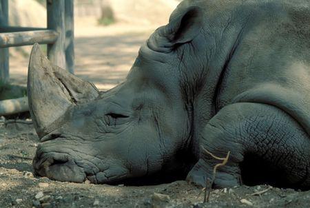 Close up of a big sleeping rhino photo