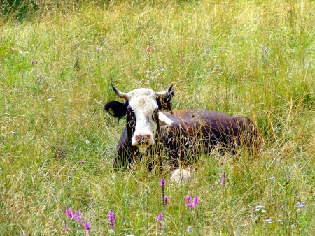 holsteine: Cows are the most common type of large domesticated ungulates  Stock Photo