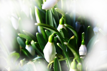 Some snowdrop species are threatened in their wild habitats, and in most countries it is now illegal to collect bulbs from the wild. photo