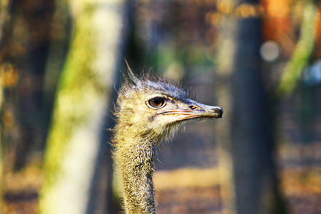 The Ostrich or Common Ostrich (Struthio camelus) photo