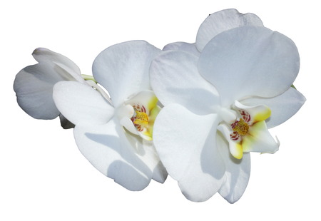White orchid isolated on a white background photo