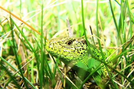 lacerta viridis: Male of green lizard ( Lacerta viridis)