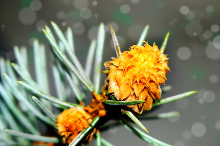 Beautiful seasonal moment - flowering of a pine tree  photo