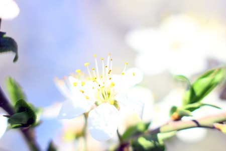Nature spring background with blossom branch with spring flowers  photo