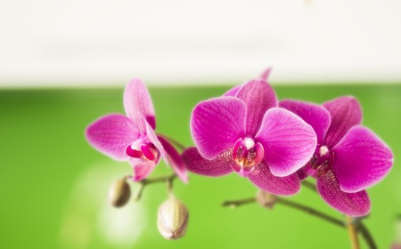 fuchsias: Blooming Twig Of White Purple Orchid Isolated On White Background. Stock Photo