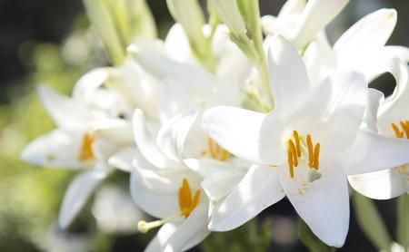Close up of lily flower, selective focus on flower Zdjęcie Seryjne