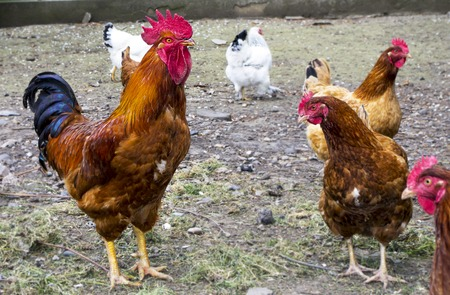 Red rooster and Chickens on traditional free range poultry farm.