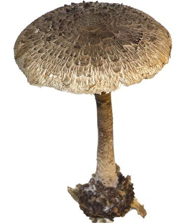 Mushroom, Fresh Raw Vegetable in white isolated background Zdjęcie Seryjne