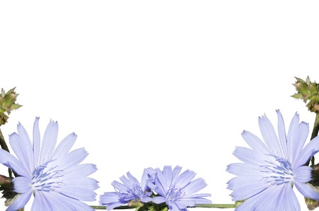 Arrangement of light blue flower, isolated on a white background. Closeup. Big shaggy flower for design.