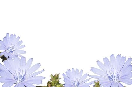 Arrangement of light blue flower, isolated on a white background. Closeup. Big shaggy flower for design. Zdjęcie Seryjne - 92707468
