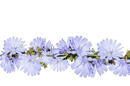 Arrangement of light blue flower, isolated on a white background. Closeup. Big shaggy flower for design. Zdjęcie Seryjne - 92762051
