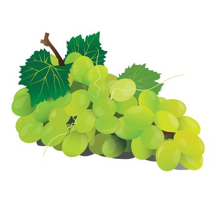 green grape fruit vector