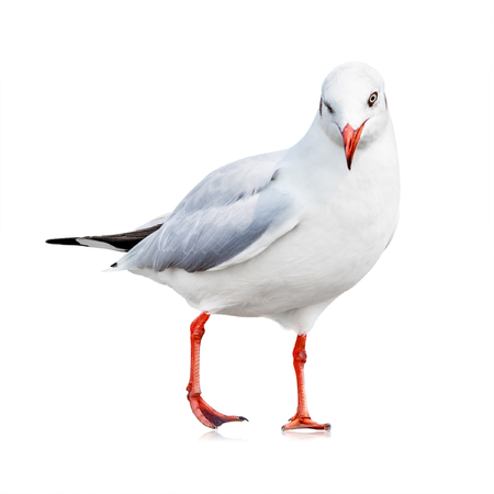Seagull isolated on white background. White bird for your design. Wink emotion.