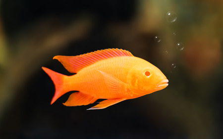 Cichlids swimming in water background with bubbles. Orange color. 免版税图像