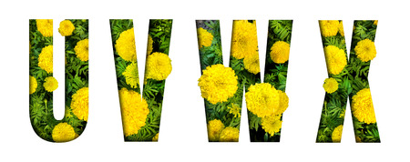Alphabet U, V, W, X made from marigold flower font isolated on white background. Beautiful character concept.